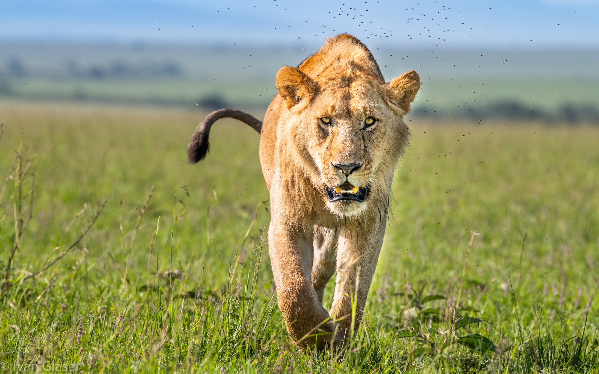 Sub-adult lion in Maasai Mara