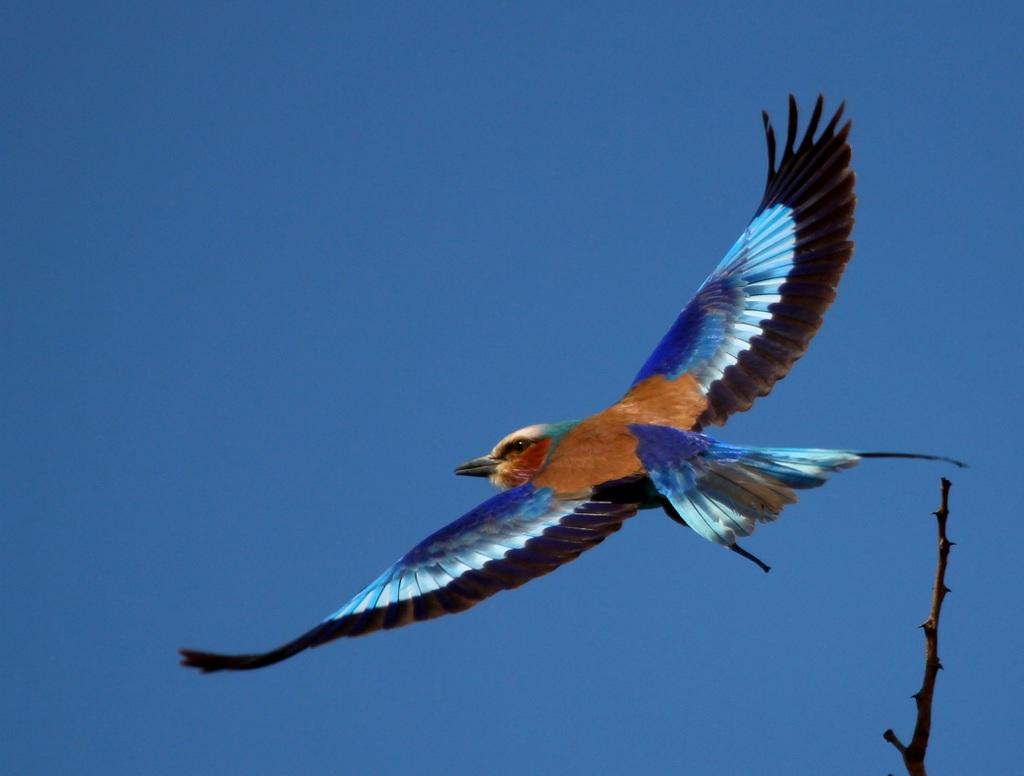 Lilac-breasted roller taking flight, bird, avian