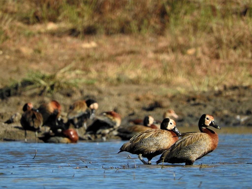 Geese at a waterhole, birds, avian