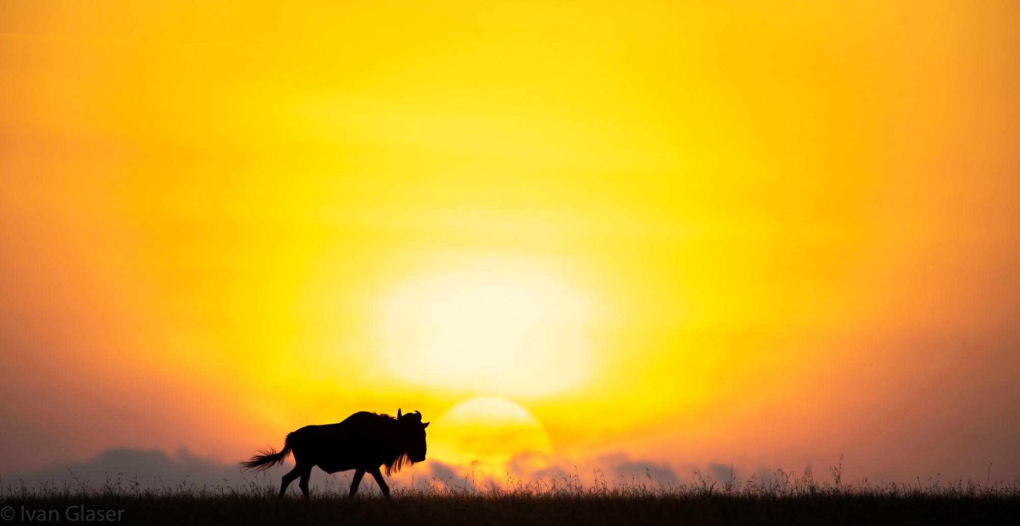 Wildebeest at sunrise in Maasai Mara
