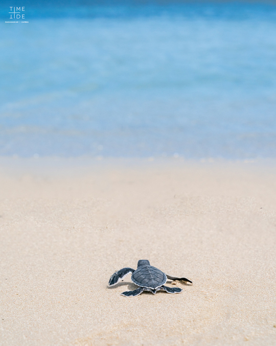 A green turtle hatchling makes its way to the sea