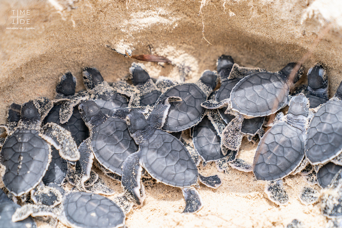 Green turtle hatchlings before leaving the nest