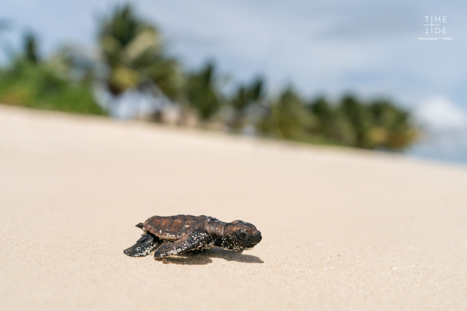 Hawksbill turtle hatchling on the beach in Madagascar