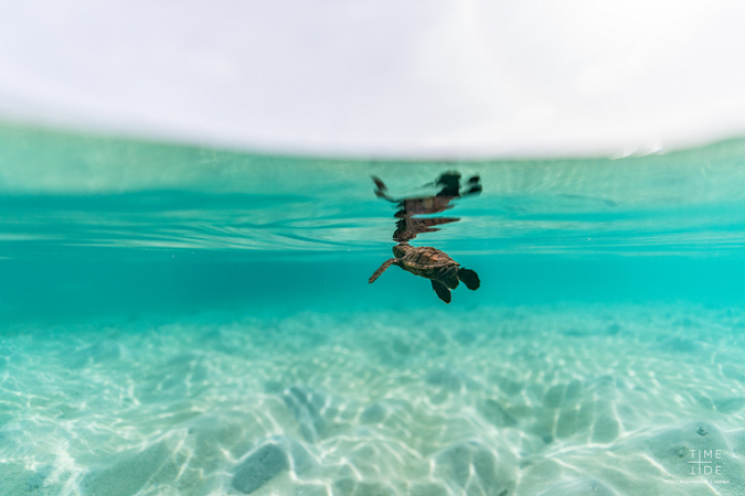 Hawksbill turtle hatchling swimming