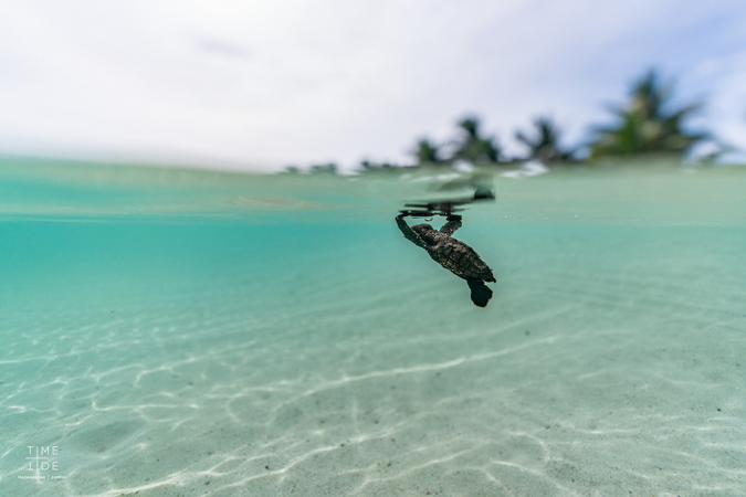 A hawksbill turtle hatchling swimming for the first time
