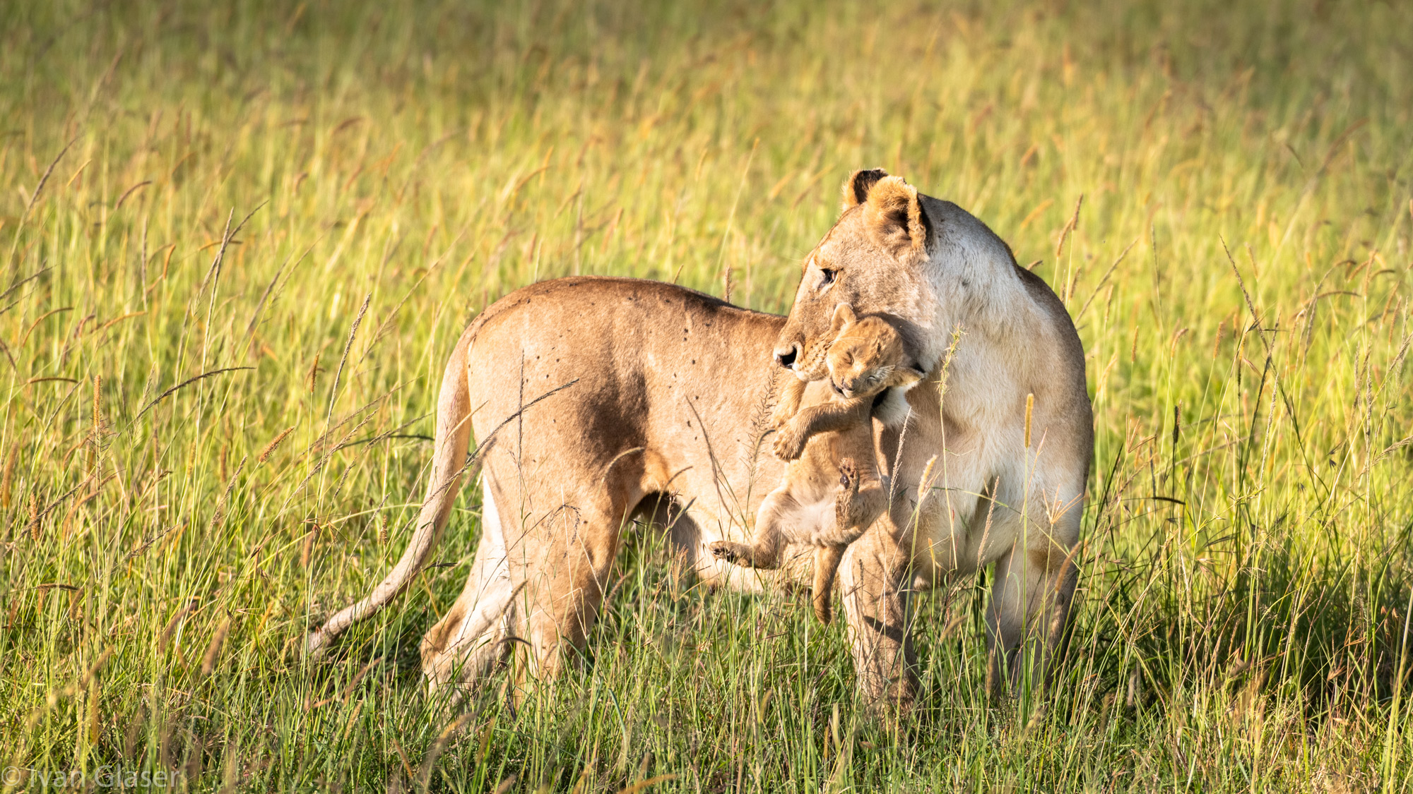 Mother lioness with cub in Maasai Mara