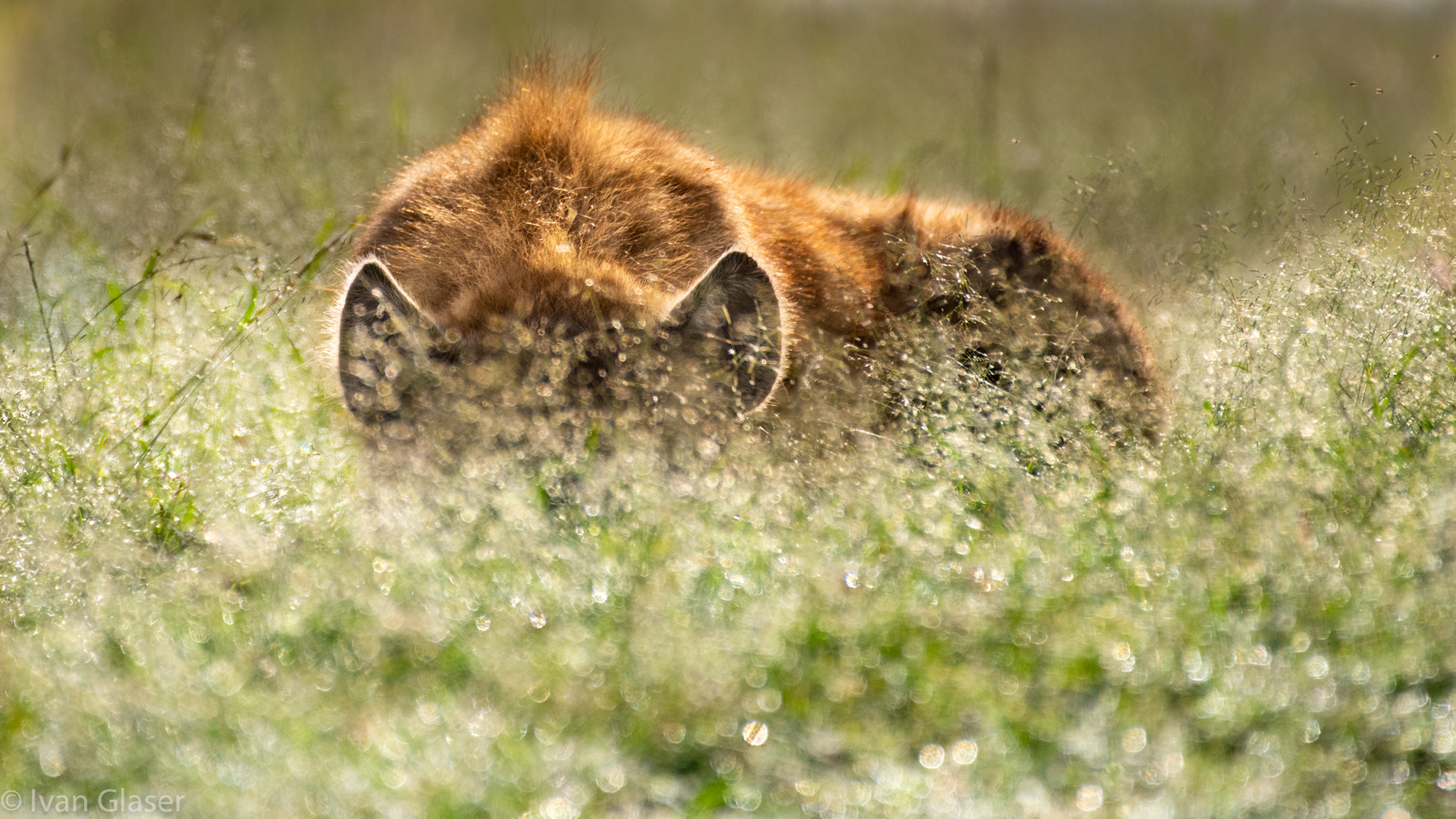 Spotted hyena in Maasai Mara