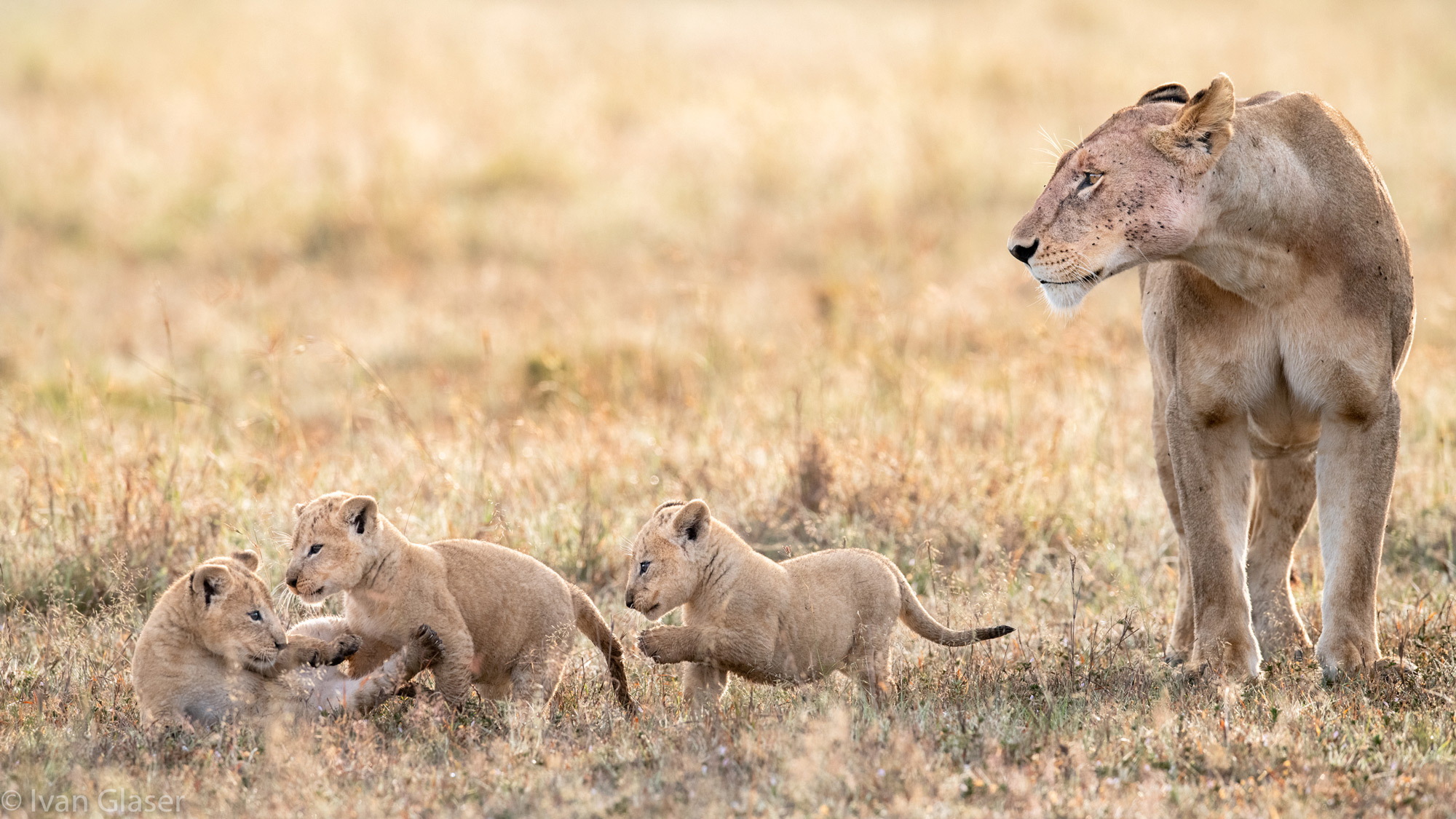 Lioness mother with three cubs in Maasai Mara