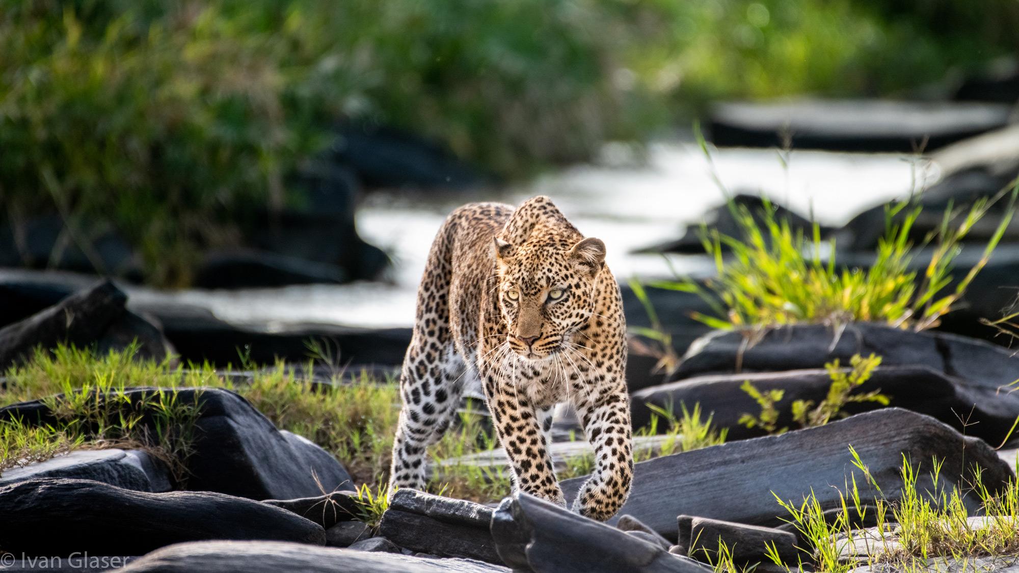 Leopard walking by river in Maasai Mara