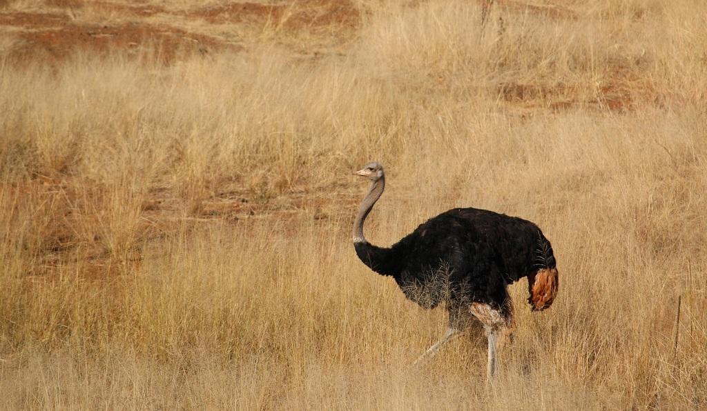 Ostrich in the wild, bird, avian