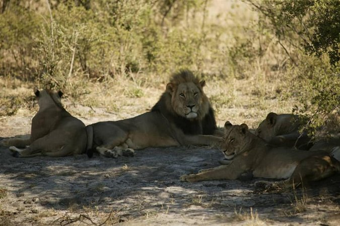 Male lion resting with lionesses
