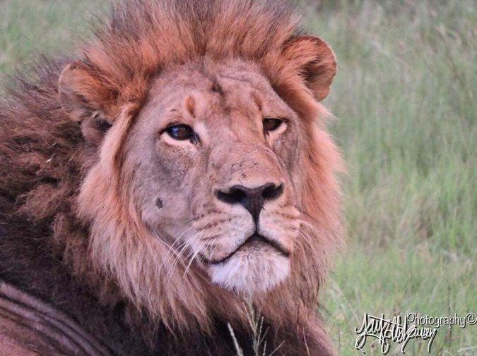 Seduli the lion