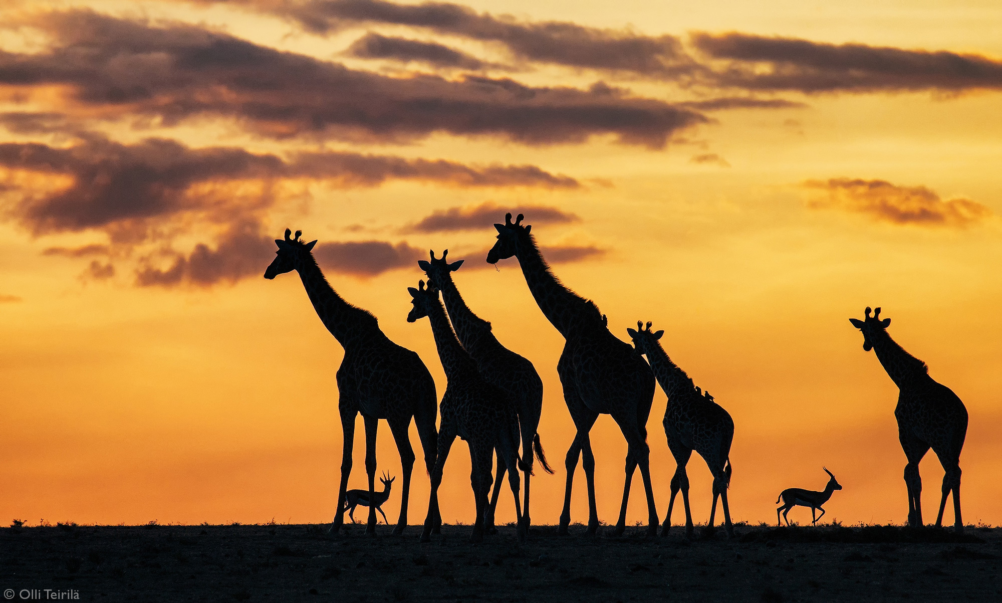 Sunset with giraffes in Maasai Mara National Reserve, Kenya © Olli Teirilä