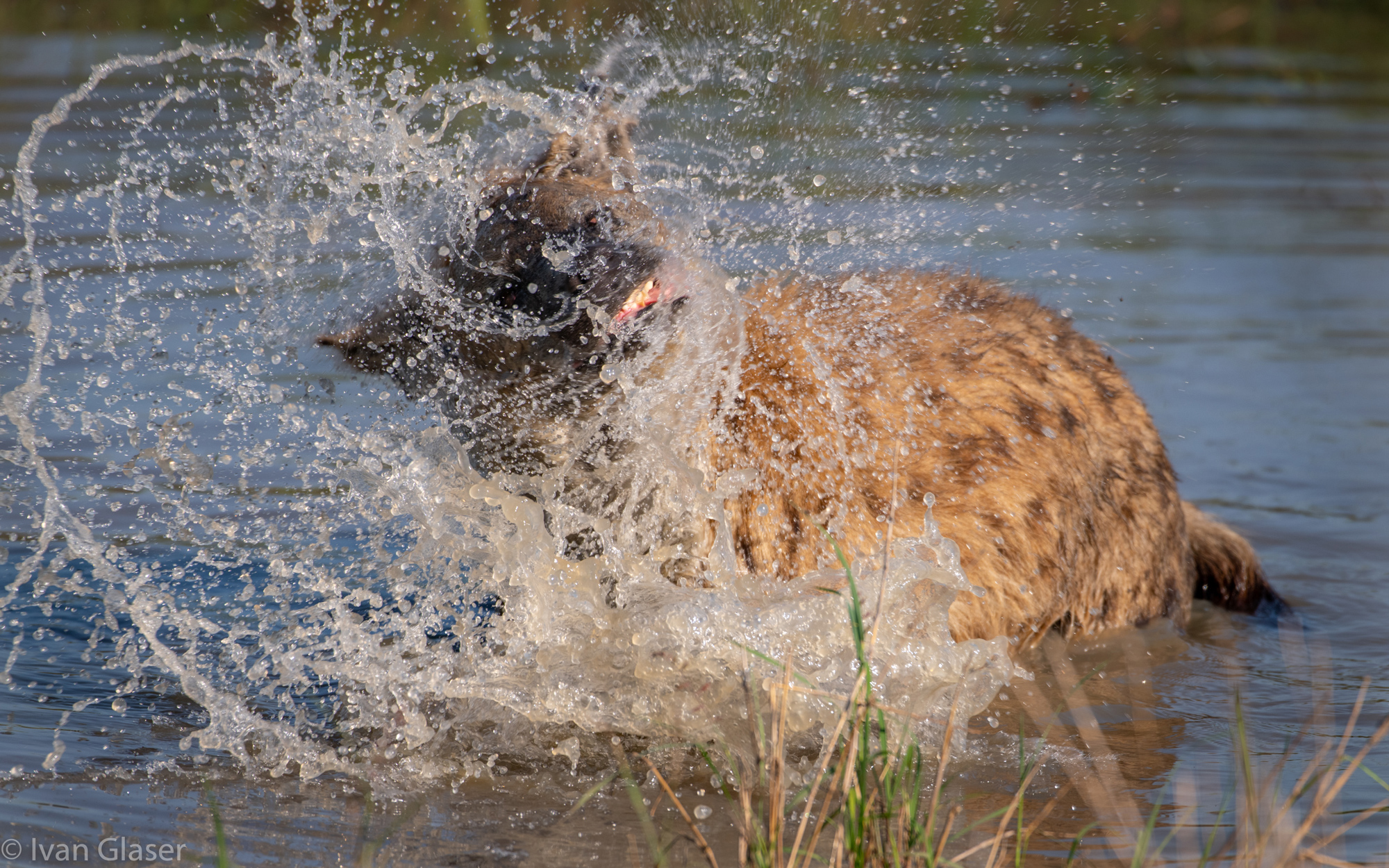 Spotted hyena in river in Maasai Mara