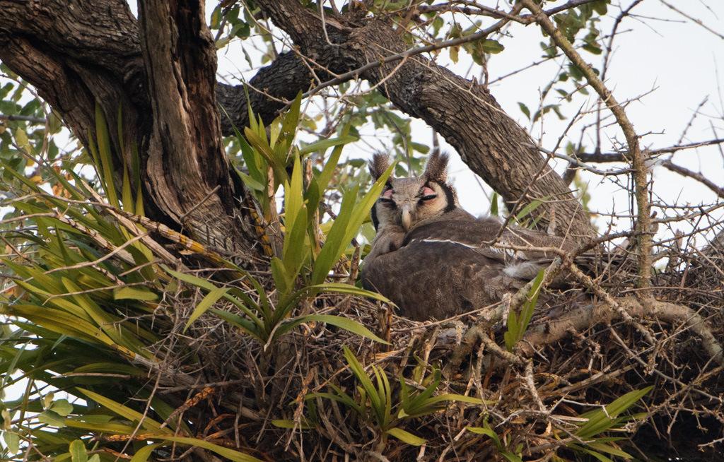 Verreaux's eagle owl sitting in nest, bird, avian