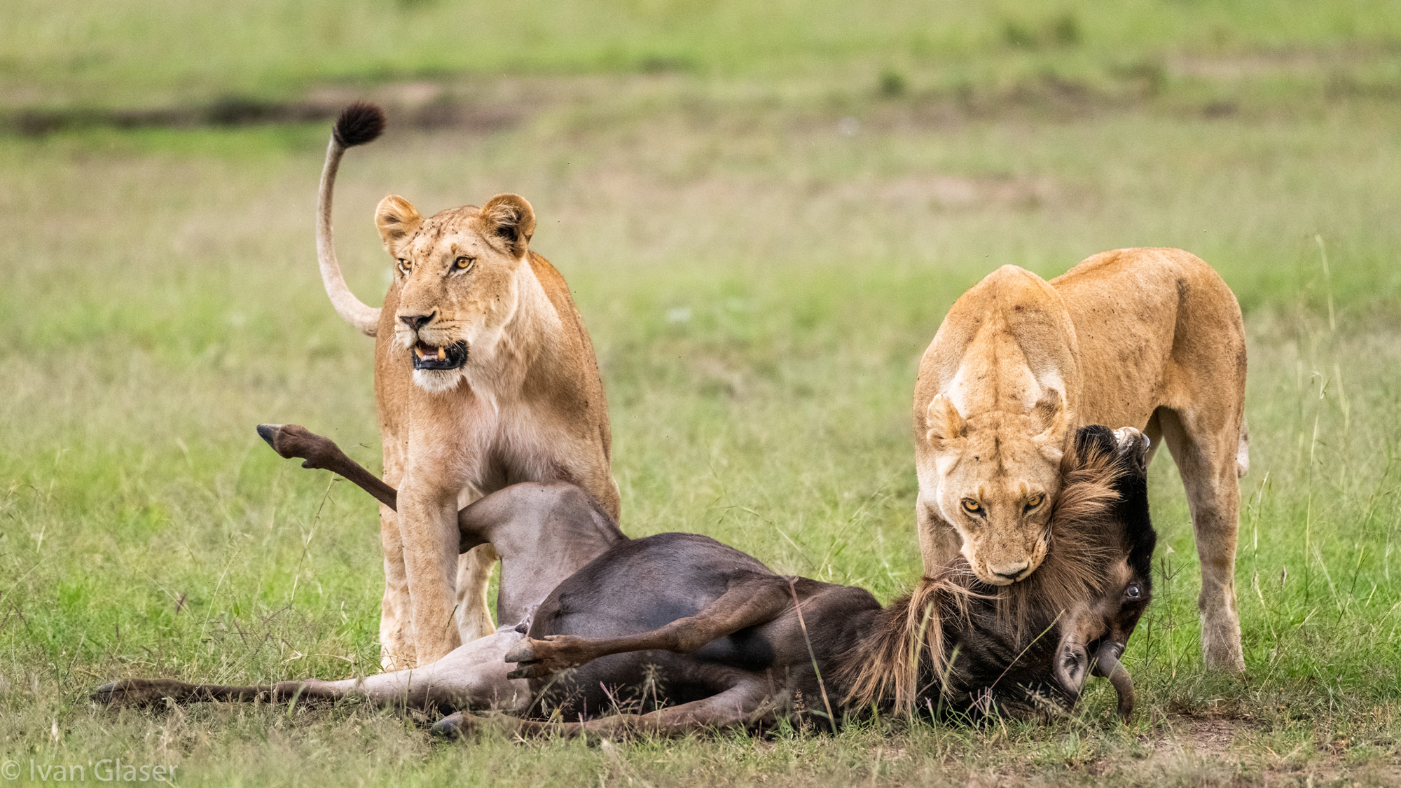 Lionesses with wildebeest kill in Maasai Mara