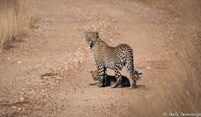 Leopard with cub, Greater Kruger