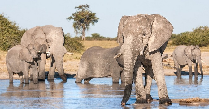 Elephant family herd at a waterhole in Botswana