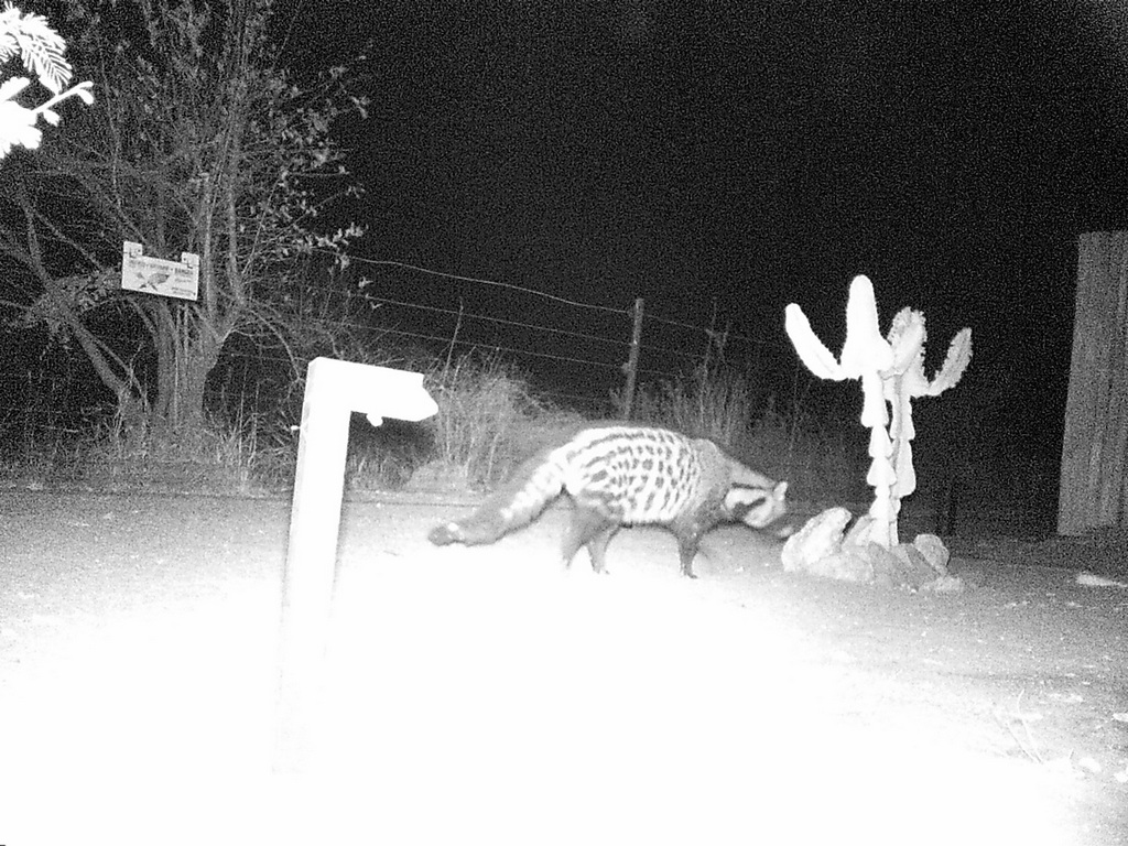Camera trap showing an African civet at night