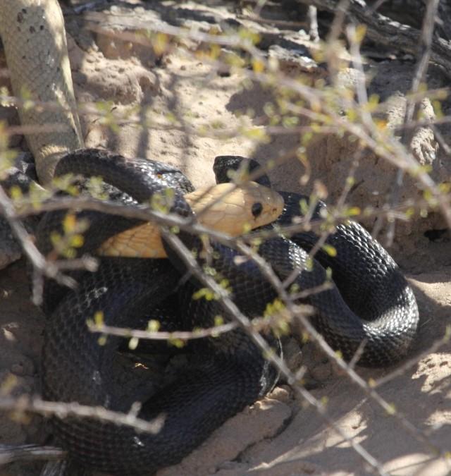 Cape cobra entangled with mole snake, Kgalagadi Transfrontier Park