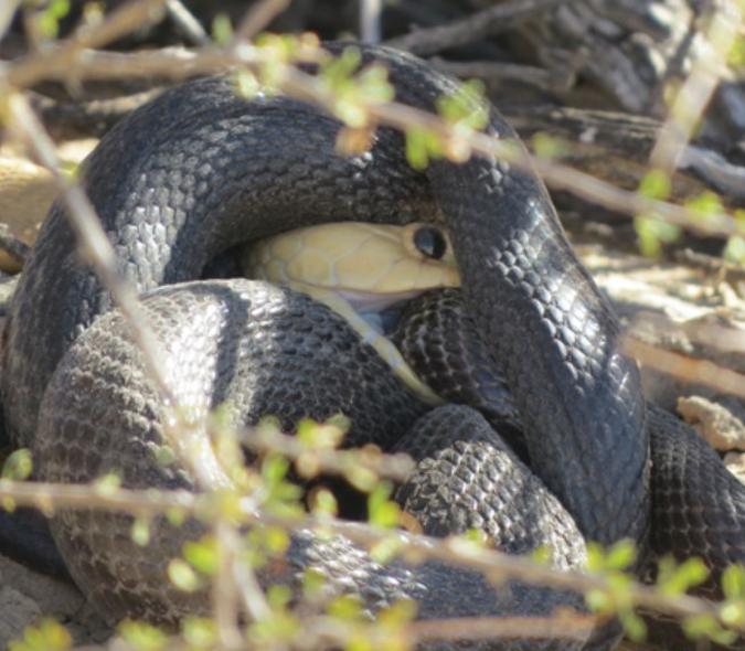Cape cobra biting mole snake, Kgalagadi Transfrontier Park