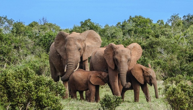 Elephant family herd
