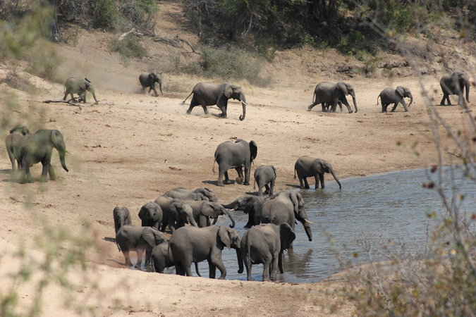 Elephant family herd at a waterhole in a reserve in South Africa