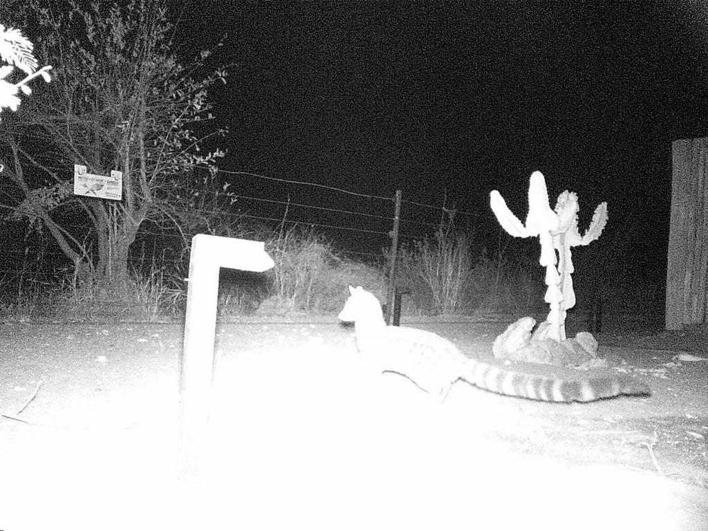 Camera trap showing a genet at night