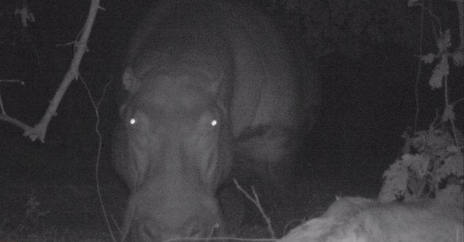 Camera trap image of hippo