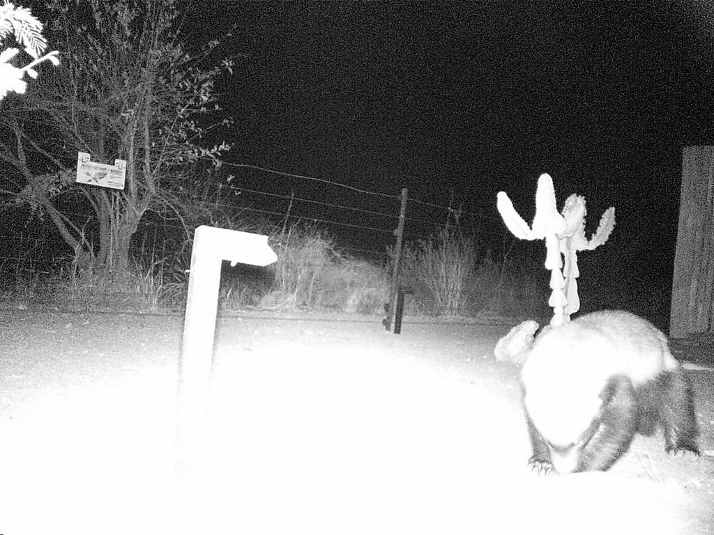 Camera trap showing a honey badger at night