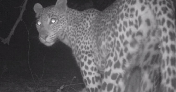 Camera trap image of leopard