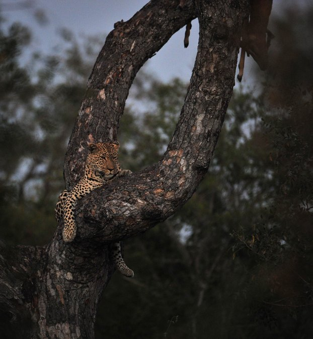 Leopard sitting in tree, Greater Kruger