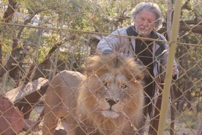 Leon van Biljon one of the lions inside the lion enclosure, Mahala View Lion Game Lodge