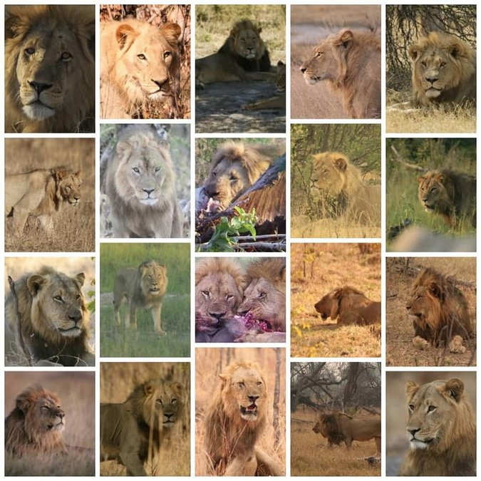 Lions that have been killed by hunters in the region over the last 10 years