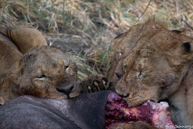 Lion pride eating buffalo, Greater Kruger