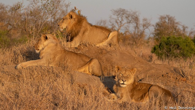 Three male lions, Greater Kruger