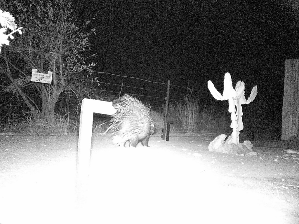Camera trap showing a porcupine at night