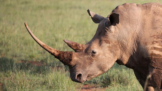 White rhino with large horns