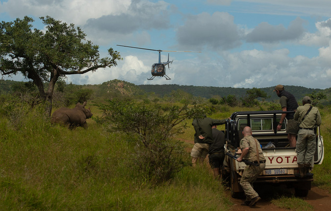 Rhino dehorning exercise with helicopter