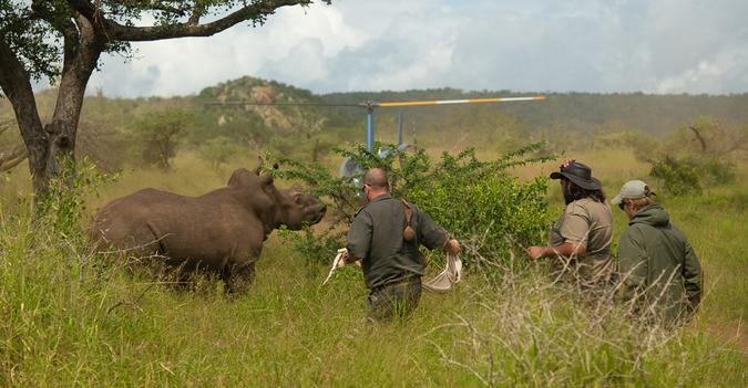 Rhino dehorning exercise with white rhino