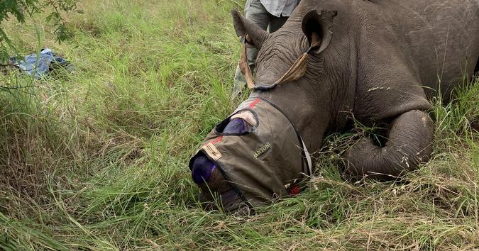 Rhino dehorning exercise with rhino tranquillised