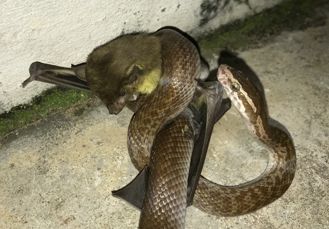 Brown house snake with bat