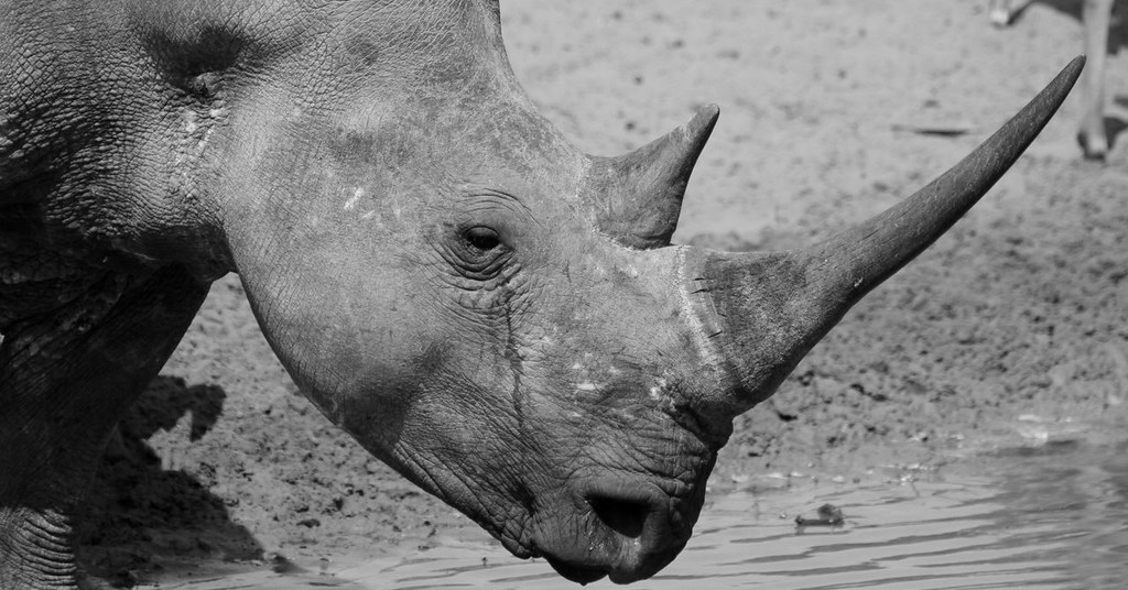 White rhino in black and white in the wild