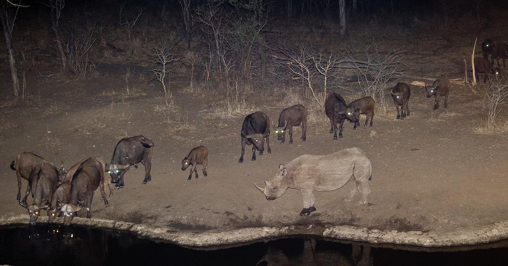 Black rhino and buffalo at waterhole at night