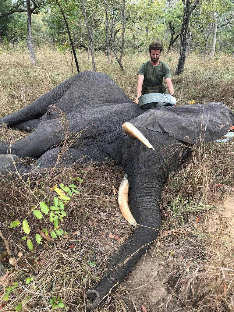 Collaring an elephant in Gilé National Reserve in Mozambique