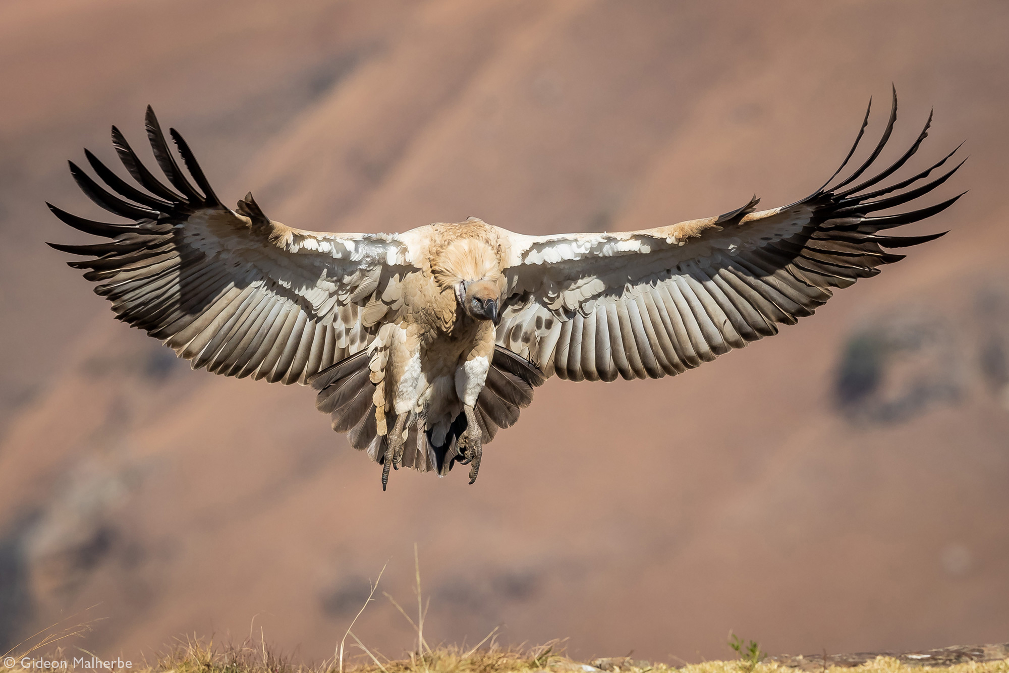 Cape vulture landing at Giant's Castle in Drakensberg