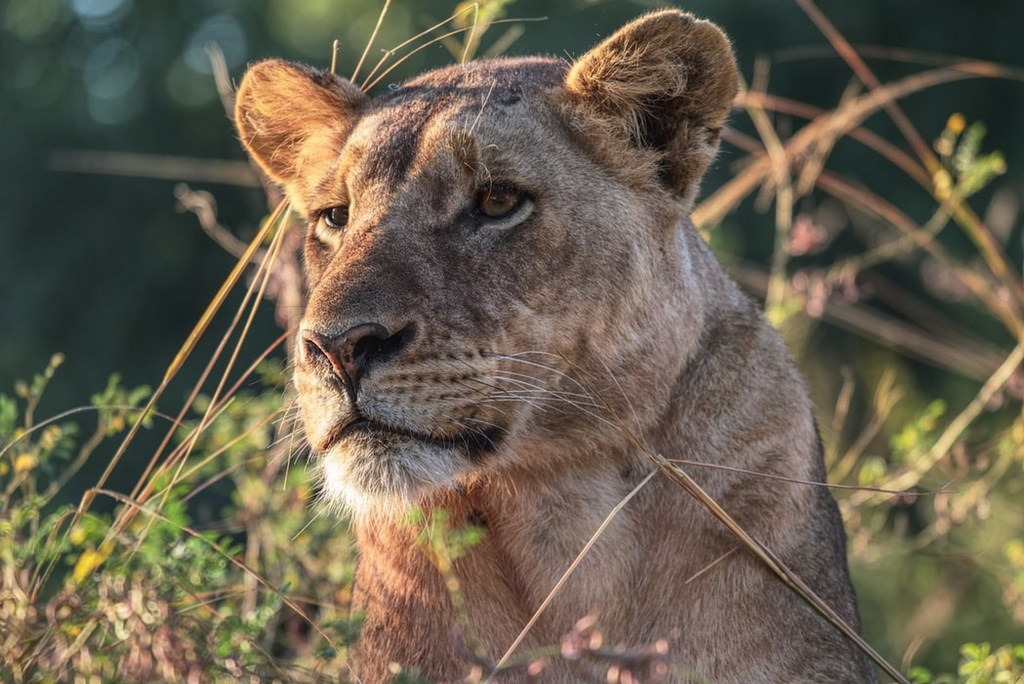 Lionesses in Zambia