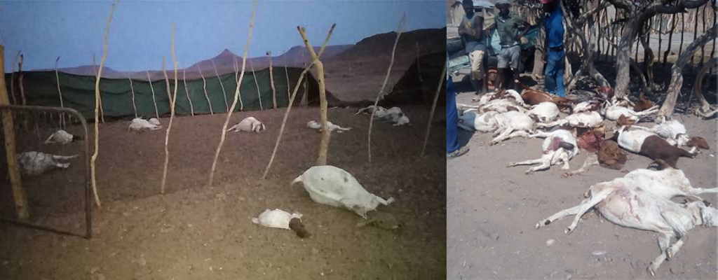Two photos showing goats killed by lions in the Kunene region in Namibia