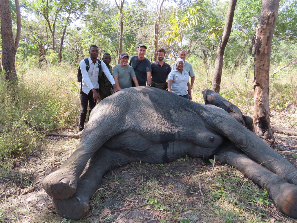 Team members with tranquillised elephant while collaring in Gilé National Reserve in Mozambique