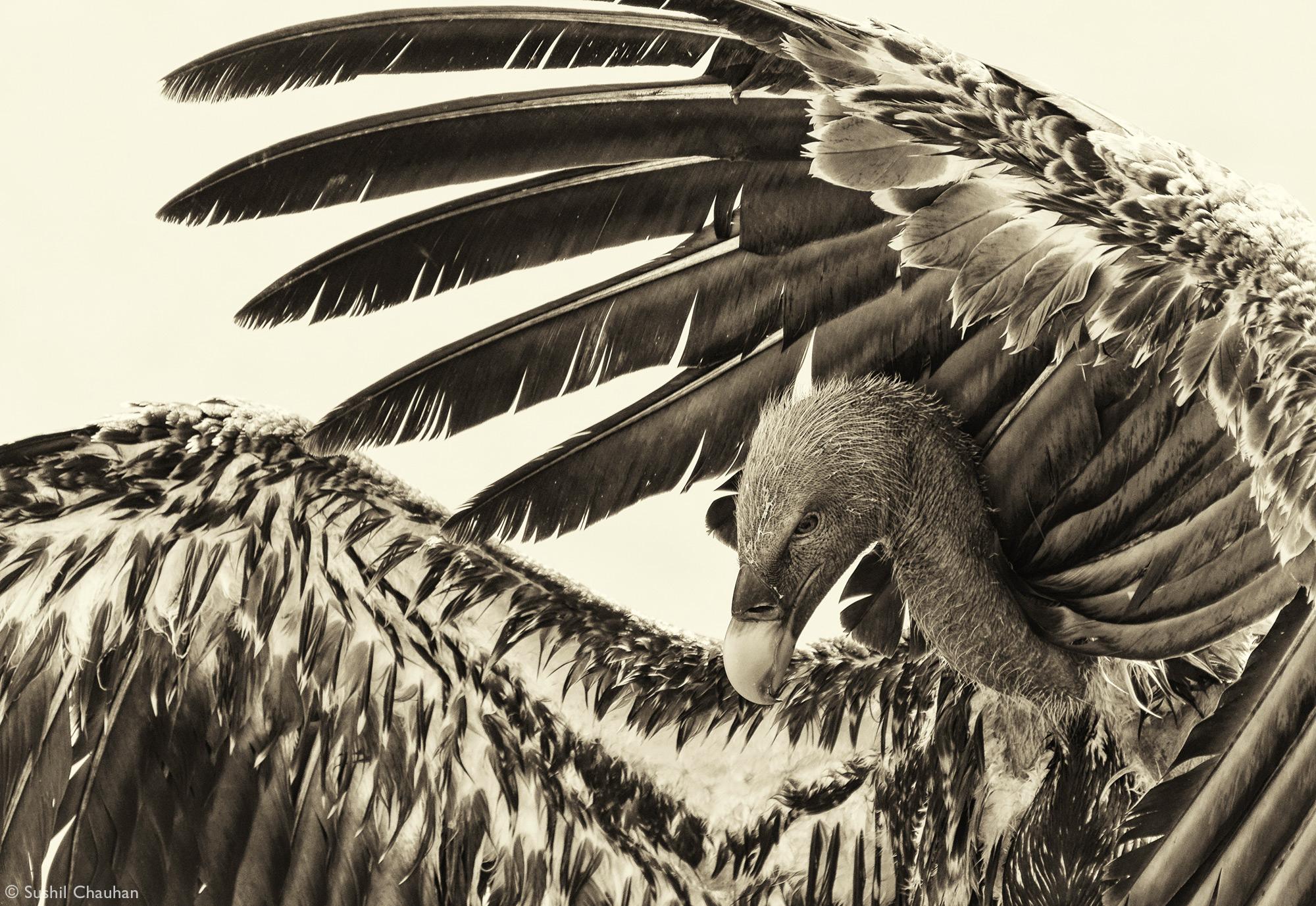 A Rüppell's vulture in Maasai Mara National Reserve, Kenya